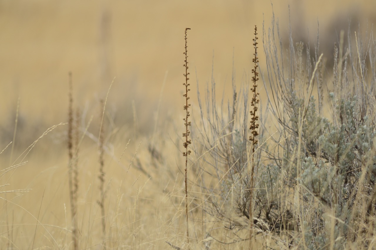 Grasses and Sage Brush